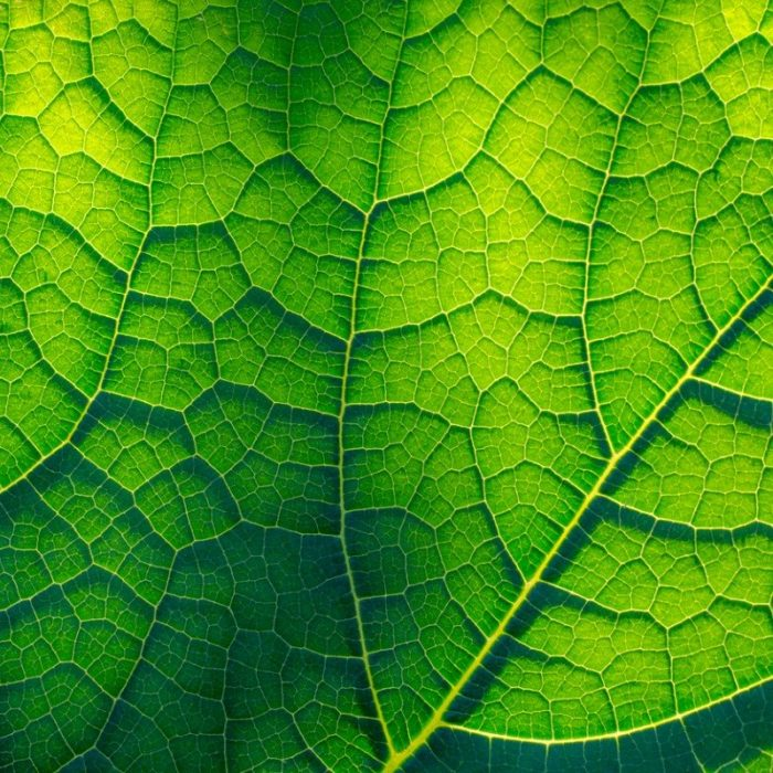 lightflooded-green-leaf-picture-id950643588